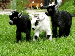 baby goats to sell soap